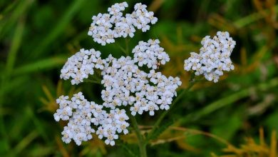 Photo of 5 Magical Health Benefits And Medical Uses Of Yarrow Plants